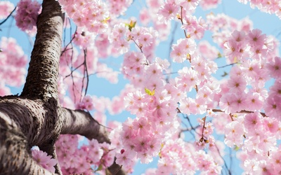 Low Angle  Cherry Blossoms Tree