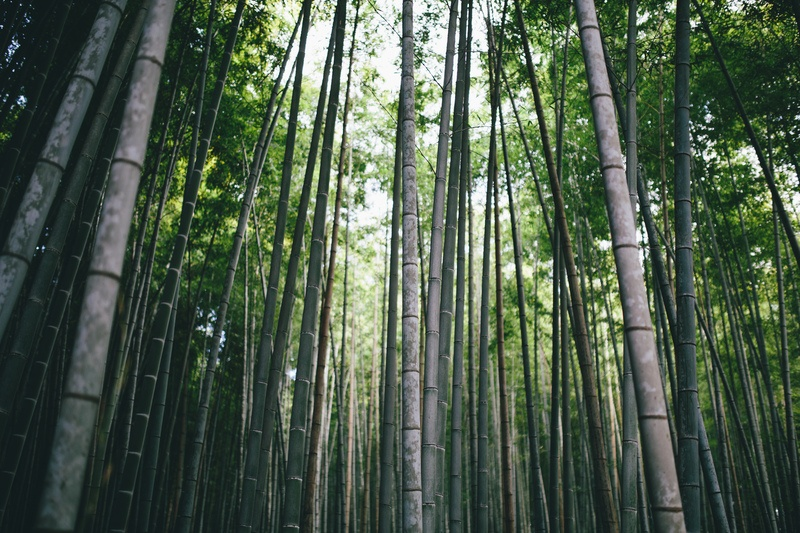 Low Angle Photography of Bamboo Trees