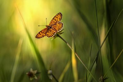 Meadow butterfly in grass