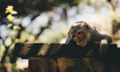 Monkey Laying on Wall