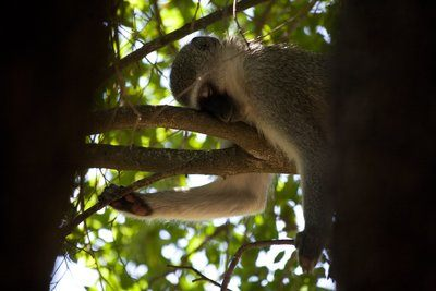 Monkey Napping In Tree