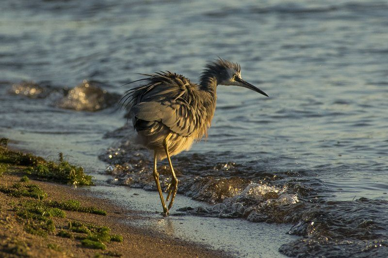 New Zealand Shorebird Tip Toes Through The Surf