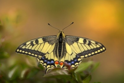 Old world swallowtail butterfly