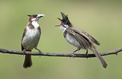 Pair Of Red-Cheeked Birds On Branch