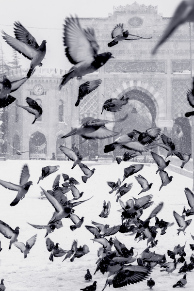 Pigeons Flying Above Snow Covered Field
