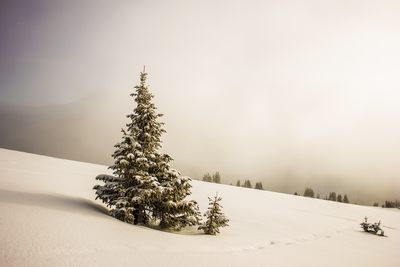 Pine Tree Surrounded By Snowfield