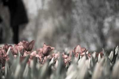 Pink Tulips Black & White Photography