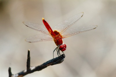 Red Dragonfly Pollinating on Tree Branch