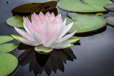 Rule of Thirds Photography of Pink And White Lotus Flower Floating