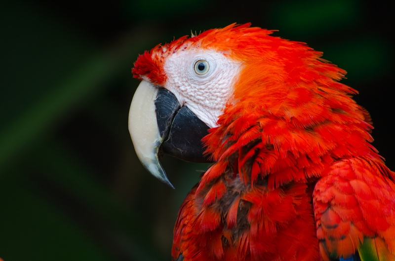 Scarlet Macaw Parrot