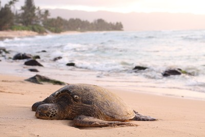 Shallow Focus Photography of Turtle Lying on Beach Sand