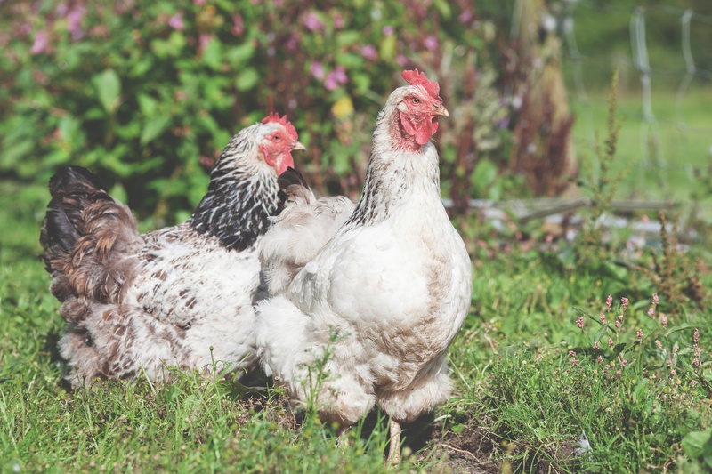 Shallow Focus Photography of Two White Hens