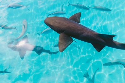 Sharks in Water