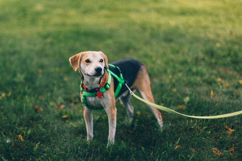 Short-Coated Tan And Black Dog with Green Harness Standing on Green