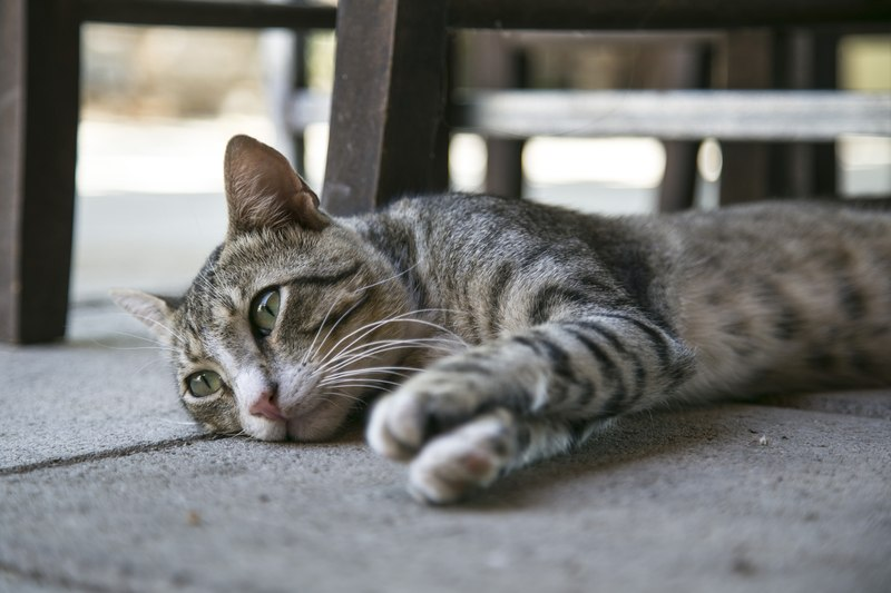 Silver Tabby Cat Lying on Ground