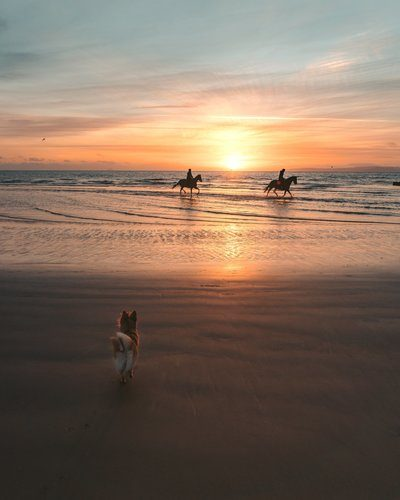 Small Dog Watches Horses On The Beach