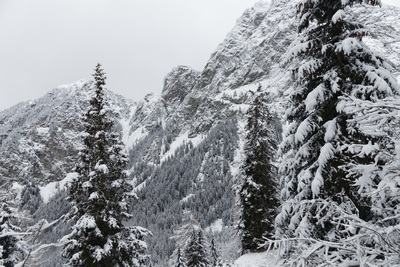 Snow-Covered Tall Trees