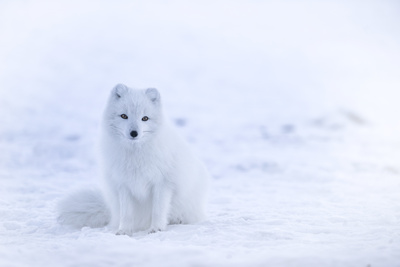 Snow Fox on Snowfield