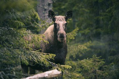 Solitary Moose In The Forest