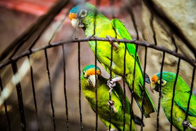 Three Green Parakeets inside on Black Cage