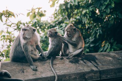 Three Monkeys On A Wall Preen Each Other