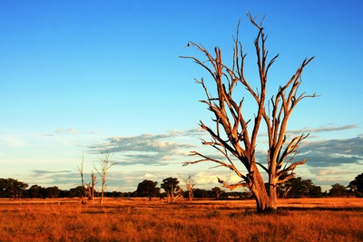 Tree in Australia Outback