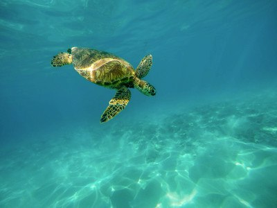 Turtle Underwater Photo