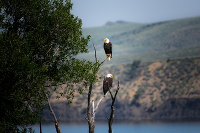 Two Bald Eagles Perched on Gray Bare Tree Branch