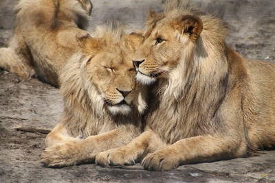 Two Lion Laying on Ground