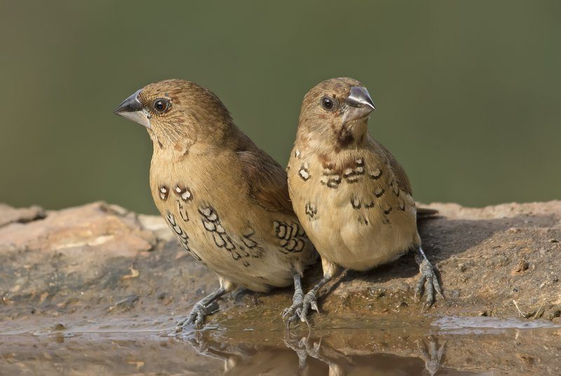 Two Spotted Birds Near Shallow Water