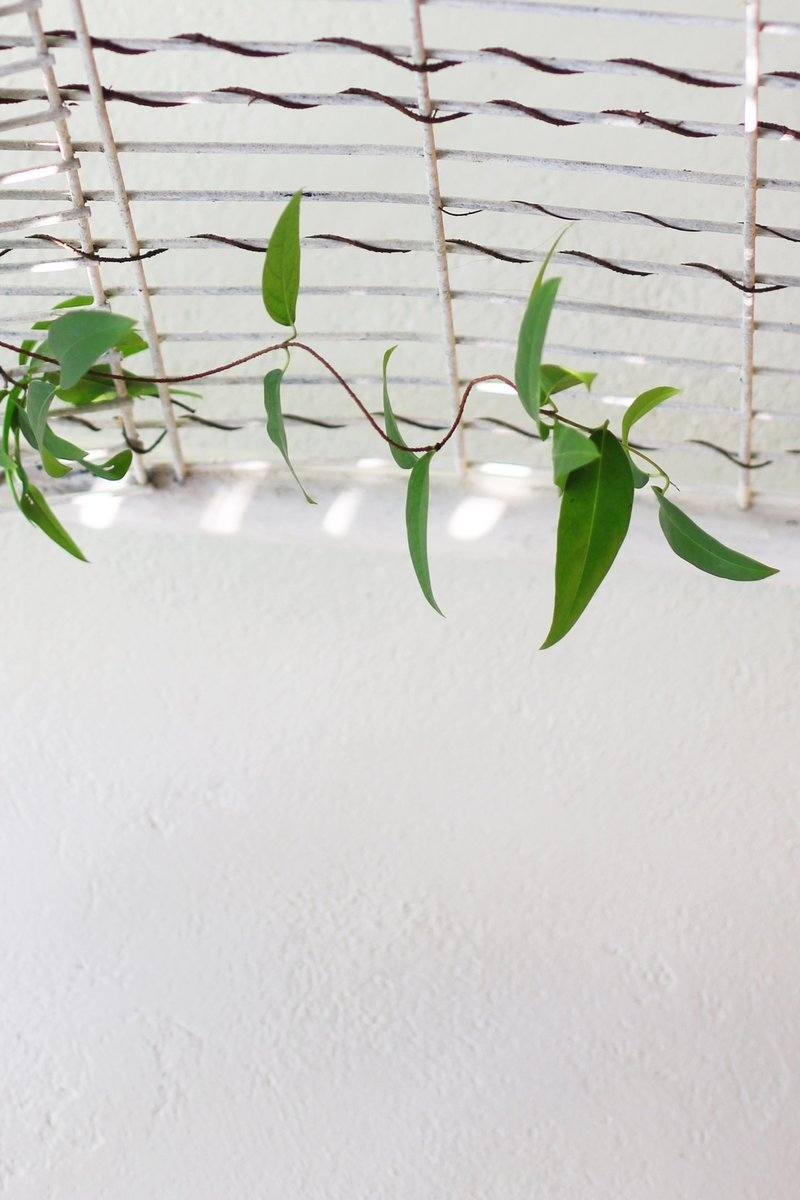 Vine Hanging On Ceiling With White Wall