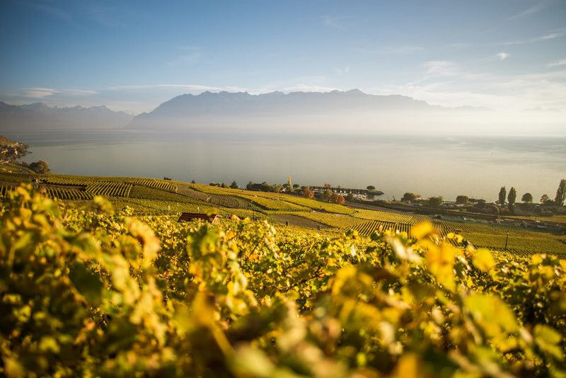 Vineyard View in the Morning