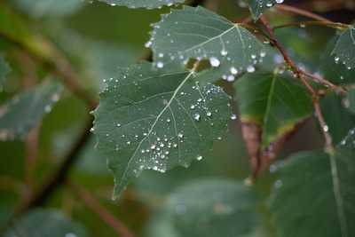 Wet Leaf Droplets