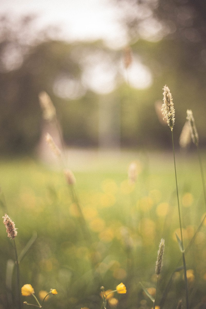 Wheat in Shallow Focus