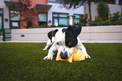 White And Black American Pitbull Terrier Bit A Yellow Pig Toy