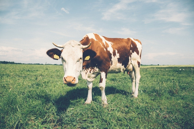 White & Brown Cow in Field