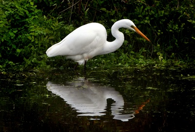 White Heron in Water