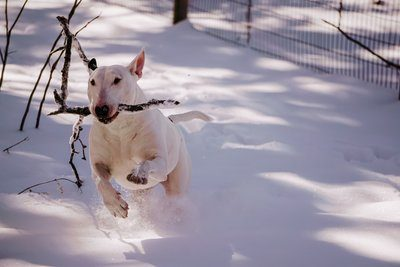 White Pup Playing Winter Fetch