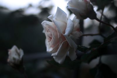 White Rose Flowers Closeup Photgraphy