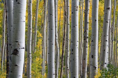 White Tree Trunks with Yellow Leaves