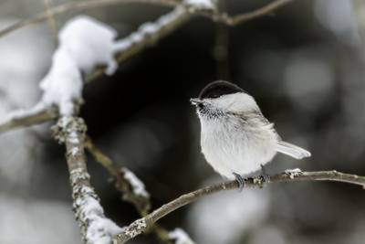 Willow tit bird