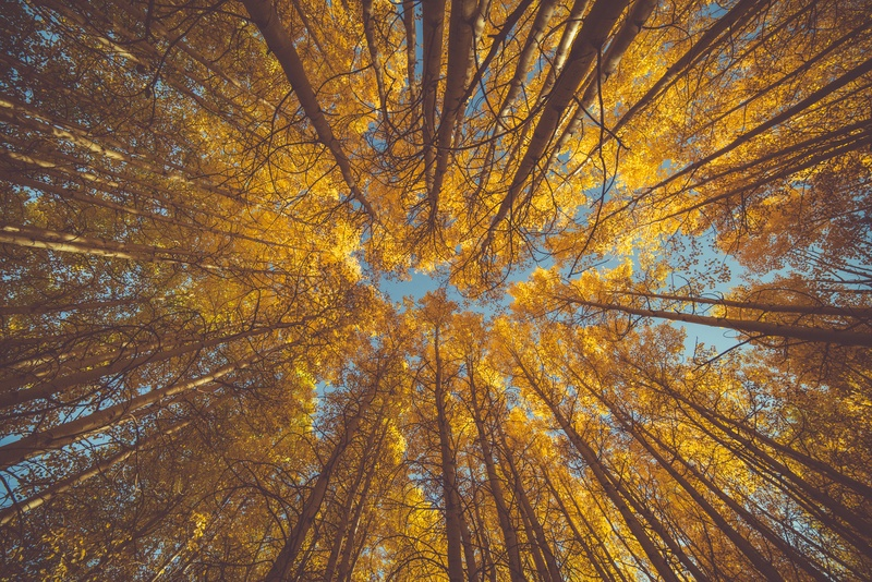 Worm's Eye View of Yellow Leafed Trees